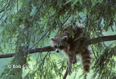 Raccoon #0009