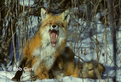 Red Fox #0052