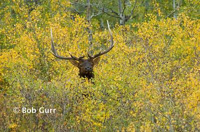 Elk Bull _BGA2504