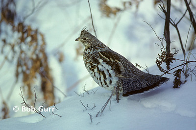 Ruffed Grouse #0001