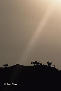 Bighorn Sheep on Ridge #0010