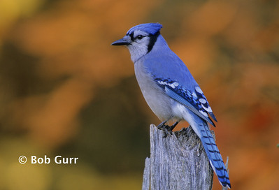 Blue Jay #0004