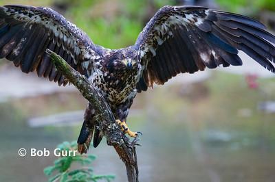Bald Eagle Immature _RGA4285