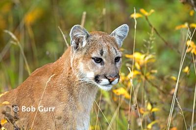 Cougar Juvenile _BGP2877