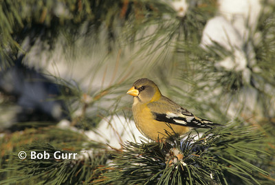 Evening Grosbeak Female #0008
