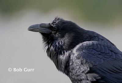 Common Raven #0005