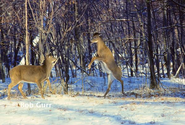White-tailed Deer Females #0077