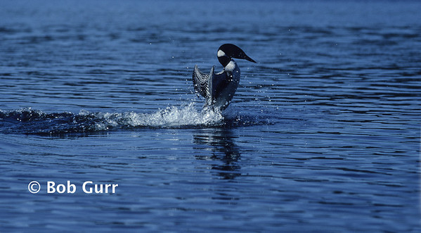 Common Loon Displaying #0004