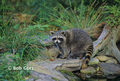 Raccoon #0034