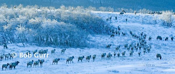 Elk Herd _BGP5069