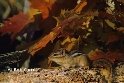Eastern Chipmunk #0007