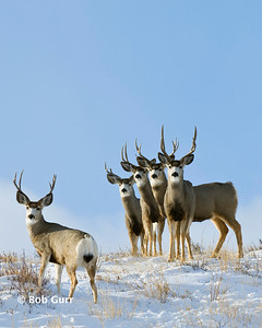 Mule Deer Bucks _BGA3755