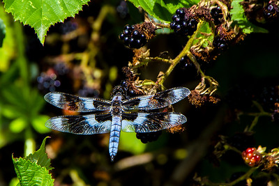 The dragonfly in the picture is a mature male 12-spotted skimmer, Libellula pulchella.