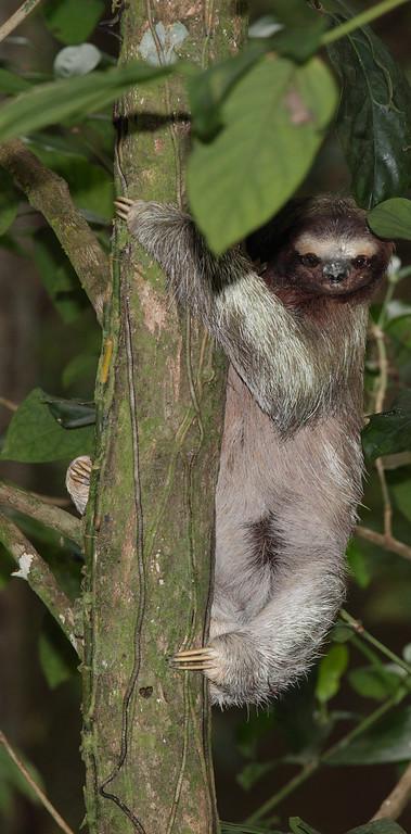 Sloth, Manzanillo, Costa Rica
