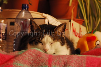 Tony, the cat, trying to sleep. Shot with the Nikkor 18-200mm VRII lens in difficult lighting. Obviously no flash could be used not to upset the cat. No tripod used, handheld and that's why the image is not 100% crisp and sharp! ISO raised to 1600 and processed in neatimage and then in DXO Optics for automatic lens corrections. No other post processing.