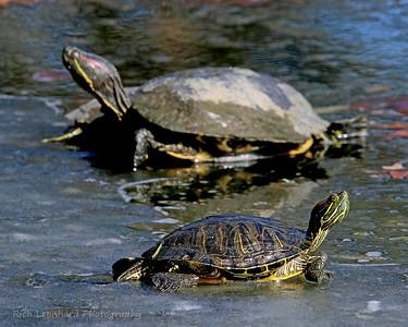 Turtles at Clark Botanic Garden.