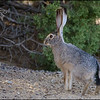 Black Tailed Jackrabbit<br /> Lepus californicus