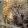 Western Porcupine