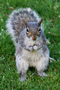 Squirrel. He looks ready for a fight.