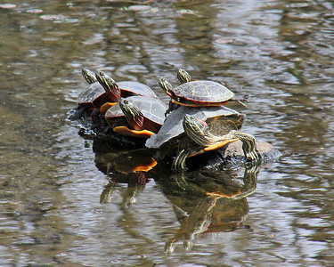 Turtles sunning themselves at Clark Gardens
