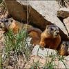 Mountain Marmots
