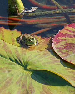 Frog in walled garden pool
