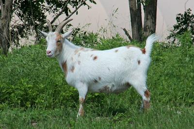 Goat---Not a Pontiac GTO.