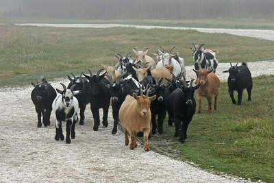 Goats Galore