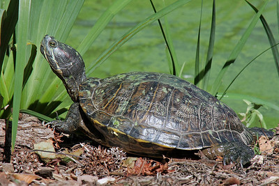 Turtle at Old Westbury Gardens.
