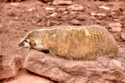 Badger‎ @ Reptile Gardens - Rapid City, SD