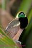 A11. Raggiana Bird-of-Paradise3. No post-processing done on photo. Nikon NEF (RAW) files available. NPP Straight Photography