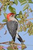 B138. Red-bellied Woodpecker 3. No post-processing done on photo. Nikon NEF (RAW) files available. NPP Straight Photography at noPhotoShopping.com