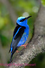 C14. Red Legged Honeycreeper. No post-processing done to photo. Nikon NEF (RAW) files available. NPP Straight photography at noPhotoShopping.com
