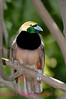 A66.  Raggiana Bird-of-Paradise 4 (Paradisaea raggiana) No post-processing done on photo. Nikon NEF (RAW) files available. NPP Straight Photography