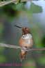 C19. Rufous Hummingbird. No post-processing done to photo. Nikon NEF (RAW) files available. NPP Straight photography at noPhotoShopping.com
