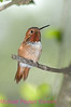 C7. Rufous Hummingbird 2. No post-processing done to photo. Nikon NEF (RAW) files available. NPP Straight Photography at noPhotoShopping.com