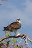 B139. Osprey Eating Fish. No post-processing done to photo. Nikon NEF (RAW) files available for proof. NPP Straight Photography at noPhotoShopping.com
