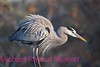 Great Blue Heron  (Ardea herodias).<br /> No post-processing done to photo. NPP Straight Photography at noPhotoShopping.com