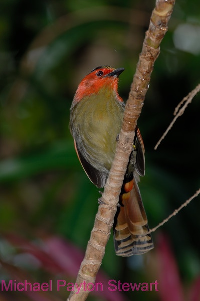 A110. Red-faced Liocichla 6 (Liocichla phoenicea) No post-processing done to photo. Nikon NEF (RAW) files available. NPP Straight Photography at noPhotoShopping.com