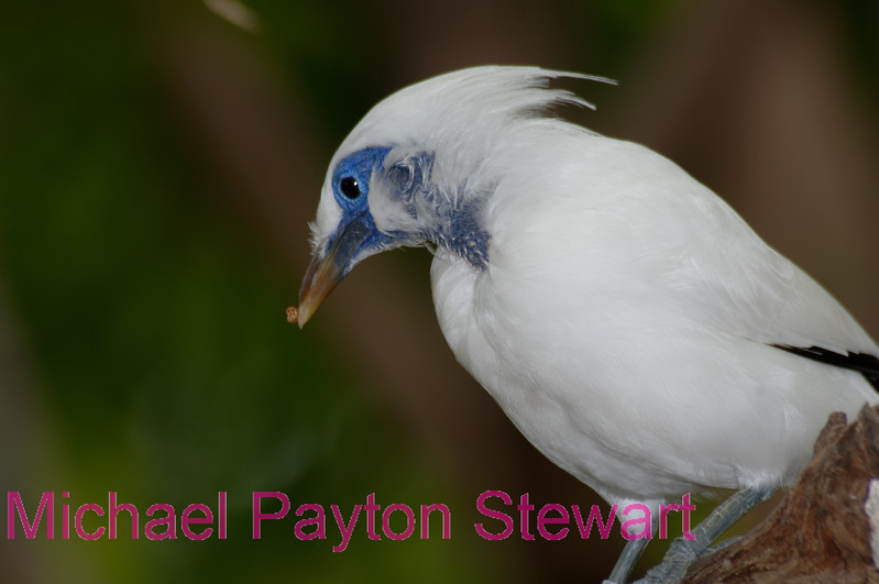 A38. Bali Mynah (Leucopsar rothschildi) No post-processing done on photo. Nikon NEF (RAW) files available. NPP Straight Photography at noPhotoShopping.com