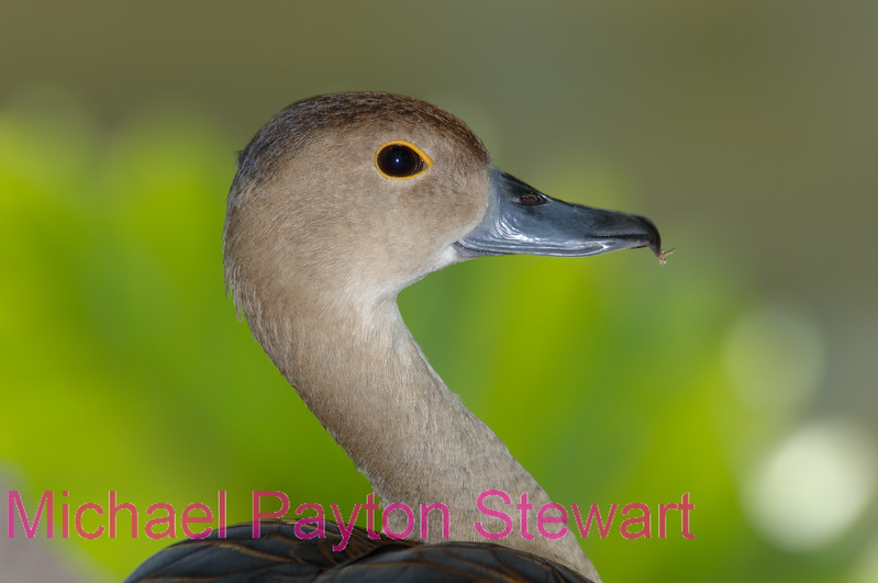 A118. Javan Whistling Duck (Dendrocygna javanica) No post-processing done on photo. Nikon NEF (RAW) files available. NPP Straight Photography at noPhotoShopping.com