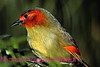 A164. Red-faced Liocichla (Liocichla phoenicea) Nikon F5 camera, Nikkor 80-400mm VR lens and SB-800 flash on Velvia 50 slide film . I guarantee that this photo was not digital enhanced only cropped. NPP Straight photography at noPhotoShopping.com