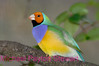 C20. Lady Gouldian Finch 4. No post-processing done to photo. Nikon NEF (RAW) files available. NPP Straight photography at noPhotoShopping.com