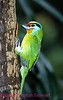 A151. Black Browed Barbet (Megalaima oorti) Nikon F100 camera, 80-400mm VR, Velvia 100F slide film and SB-800 flash. I guarantee that this photo was not digitally enhanced or changed from the original slide. NPP Straight Photography