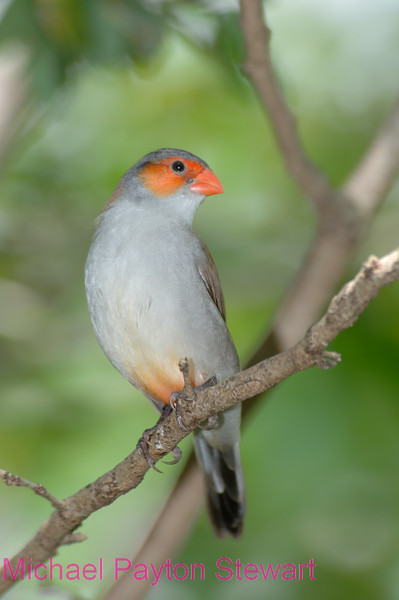 C12. Orange Cheeked Waxbill (Estrilda melpoda) No post-processing done to photo. Nikon NEF (RAW) files available. NPP Straight photography.