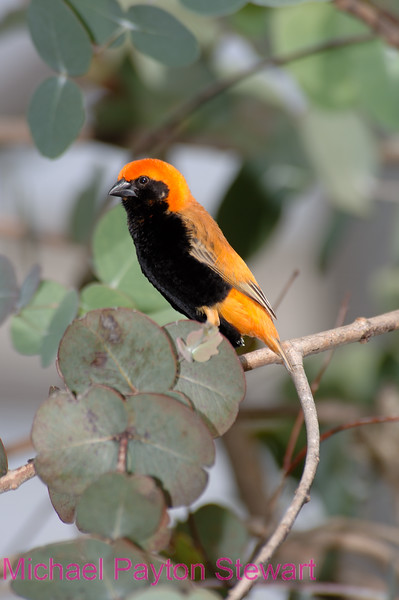 C15. African Southern Bishop weaver 2. No post-processing done to photo. Nikon NEF (RAW) files available. NPP Straight photography at noPhotoShopping.com