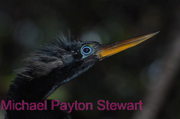 B155. Male Anhinga with blue eye shadow. No post-processing done to photo. Nikon NEF (RAW) files available. NPP Straight Photography.net