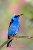 Red Legged Honeycreeper 3. No post-processing done to photo. Nikon NEF (RAW) files available. NPP Straight photography at noPhotoShopping.com