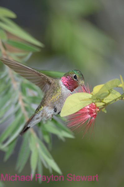 C11. Broadtail Hummingbird. No post-processing done to photo. Nikon NEF (RAW) files available. NPP Straight photography at noPhotoShopping.com