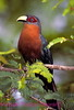 A153. Chestnut-breasted Malkoha (Phaenicophaeus curvirostris) Nikon F5 camera, Nikkor 80-400mm VR lens, SB 800 flash and Velvia 50 slide film. I guarantee that this photo was not digital enhanced or changed from the original slide. NPP Straight Photography at noPhotoShopping.com
